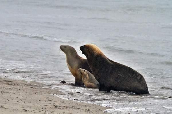 Чтобы увидеть их своими глазами – посетите национальный парк Флиндерс Чейз, Бухту Тюленей, Ущелье Казуаров.