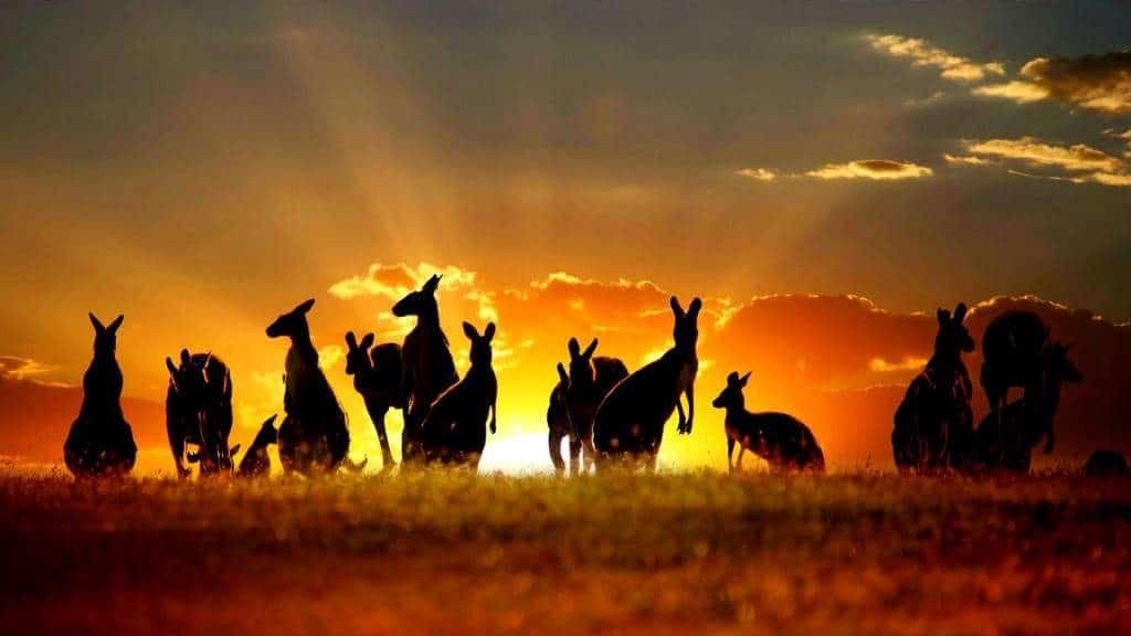 Мало найдется туристов, которые откажутся посмотреть на австралийских кенгуру вживую
